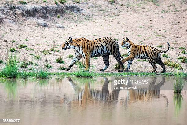 bengal tiger cub playing with mother - bengal tiger stock pictures, royalty-free photos & images