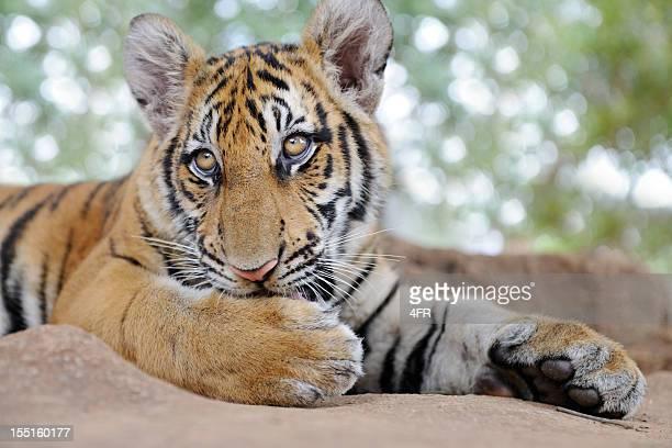 Bengal Tiger Cub Portrait (XXXL)