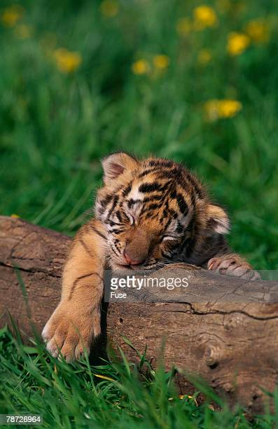 bengal tiger cub sleeping on fallen tree - tiger cub stock photos and pictures