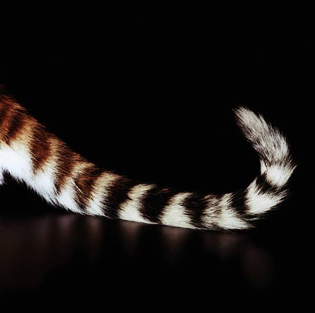 Bengal tiger (Panthera tigris tigris) cub's tail, close-up