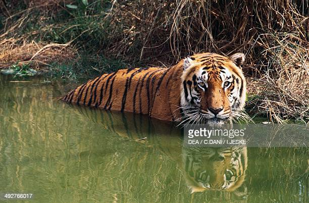 Bengal tiger Felidae