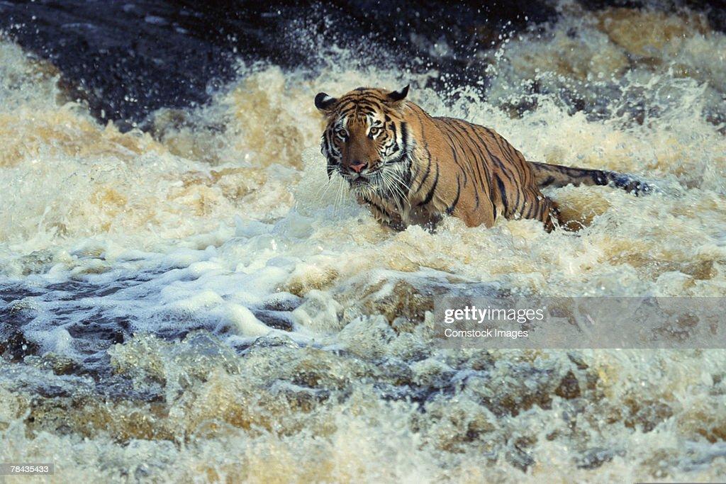 Bengal tiger fishing in white water : Stockfoto