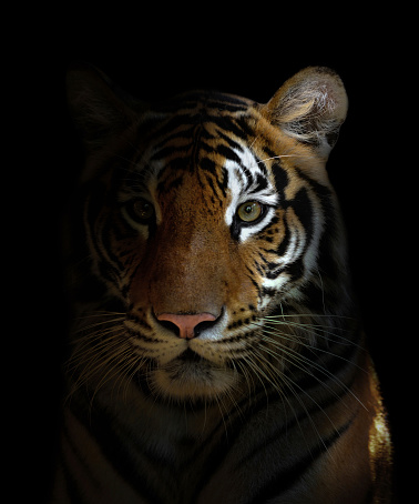 bengal tiger head 515222639