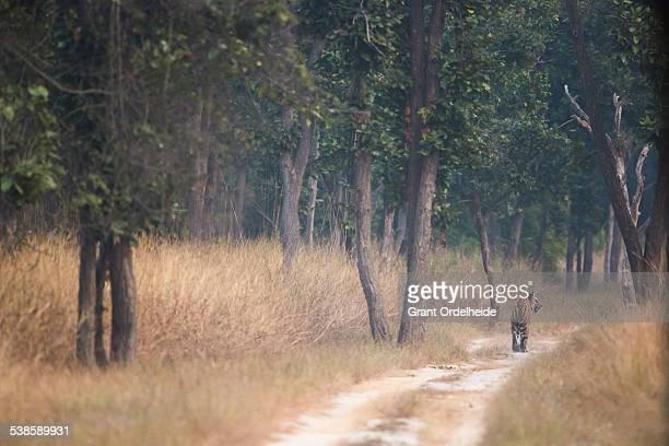 a bengal tiger (panthera tigris) in bandhavgarh national park in india. - bandhavgarh national park stock pictures, royalty-free photos & images