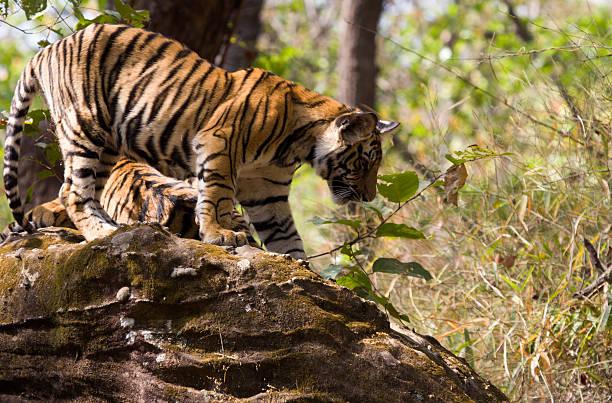 Bengal Tiger in Bandhavgarh NP, India