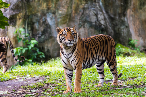 A Bengal Tiger in forest 1062140838