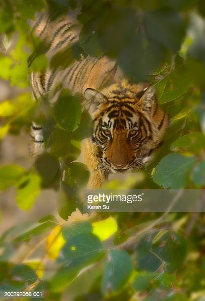 bengal tiger (panthera tigris) in forest - ranthambore national park stock pictures, royalty-free photos & images