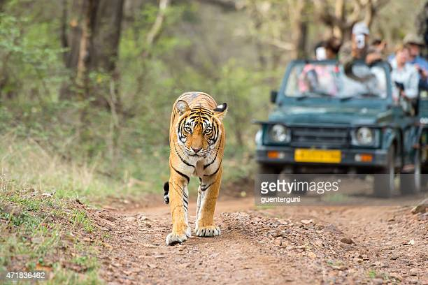 Bengal tiger (Panthera tigris tigris) in front of tourist car