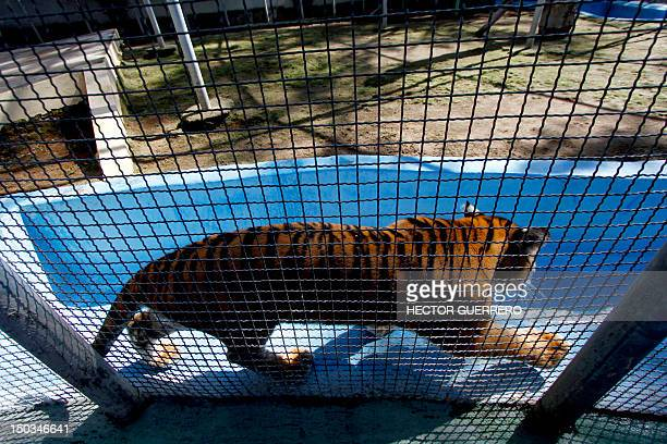 Bengal tiger in its cage at Villa Fantasia zoo in the Zapopan municipality, metropolitan area of Guadalajara, Mexico, on August 15, 2012. The tiger...