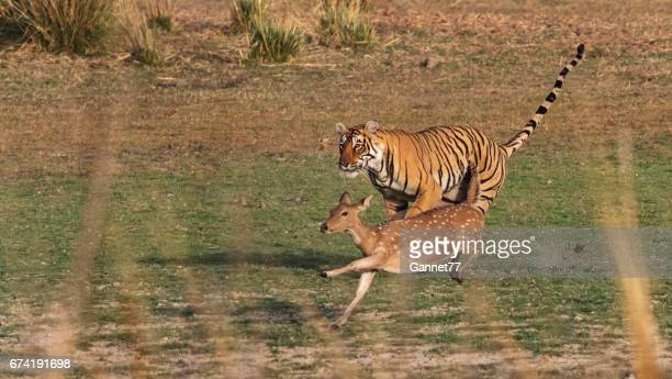 Bengal Tiger in Rajasthan, India, chasing a Chital Deer.
