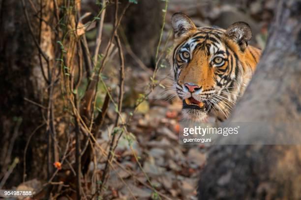bengal tiger (panthera tigris tigris) in ranthambhore national park - ranthambore national park stock pictures, royalty-free photos & images