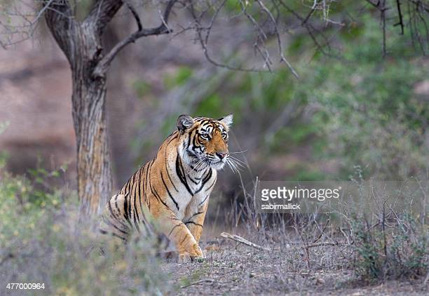 bengal tiger, india. - bengal tiger stock pictures, royalty-free photos & images