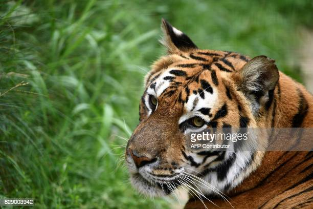 A Bengal tiger is pictured at the temporary shelter of the 'Stichting Leeuw' Lion Foundation which rescues retired circus animals on August 8 2017 in...