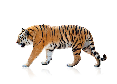 Bengal tiger isolated 852721254