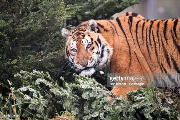 Bengal tiger Khan rubs against pine needles from donated and recycled Christmas trees in his enclosure at Noah's Ark Zoo Farm Wraxall Somerset where...