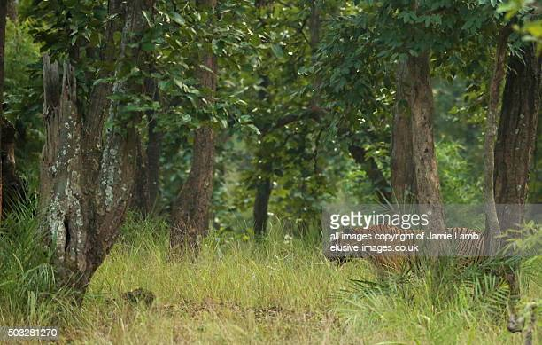 bengal tiger , king of the jungle, bandhavgarh national park, india - bandhavgarh national park stock pictures, royalty-free photos & images