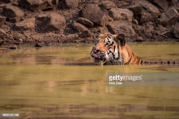 Bengal tiger licks lips in water hole
