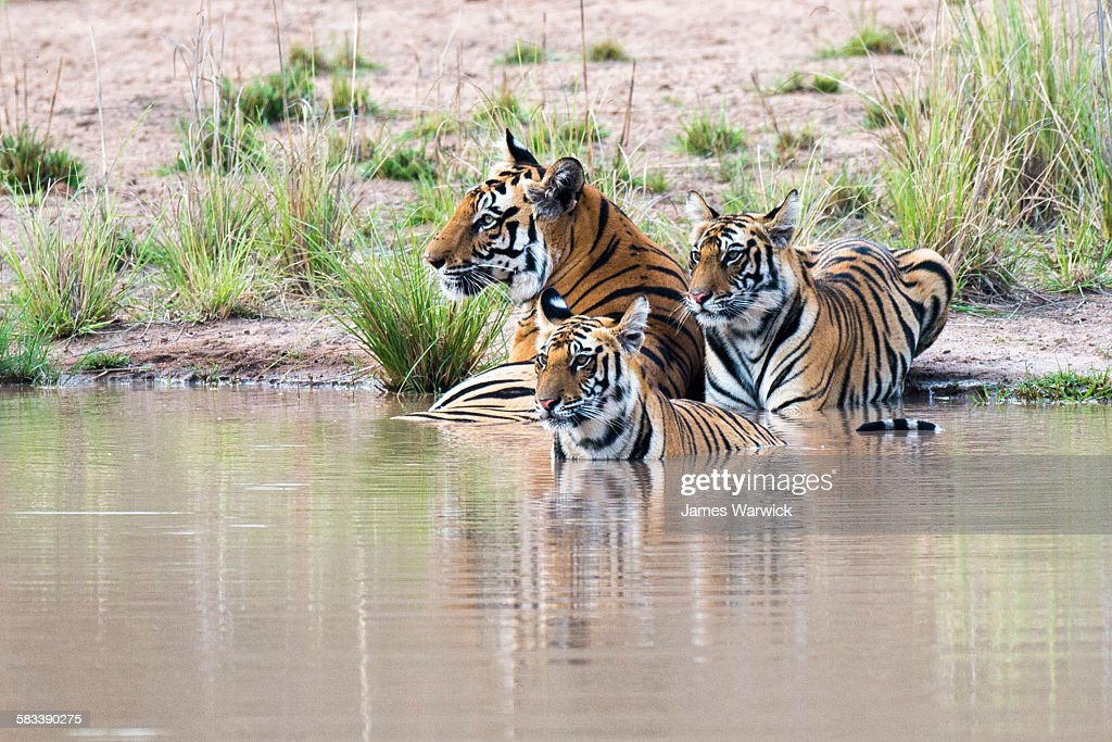 Bengal tiger mother with cubs at edge of pool : Stock Photo