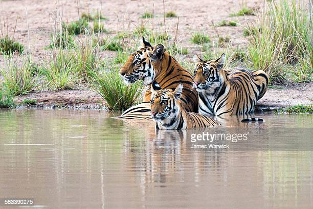 bengal tiger mother with cubs at edge of pool - bandhavgarh national park stock pictures, royalty-free photos & images