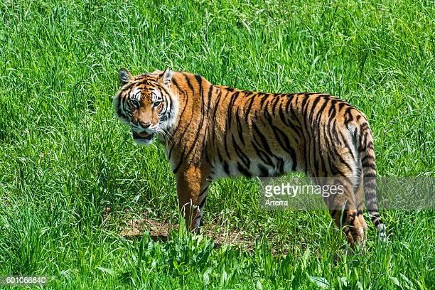 Bengal tiger native to India Bangladesh Nepal and Bhutan in grassland