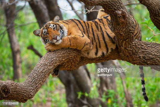 bengal tiger (panthera tigris tigris) on a tree, wildlife shot - tiger stock pictures, royalty-free photos & images
