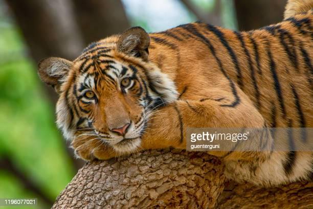 bengal tiger (panthera tigris tigris) on a tree, wildlife shot - threatened species stock pictures, royalty-free photos & images