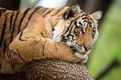 Bengal tiger (Panthera tigris tigris) on a tree, wildlife shot