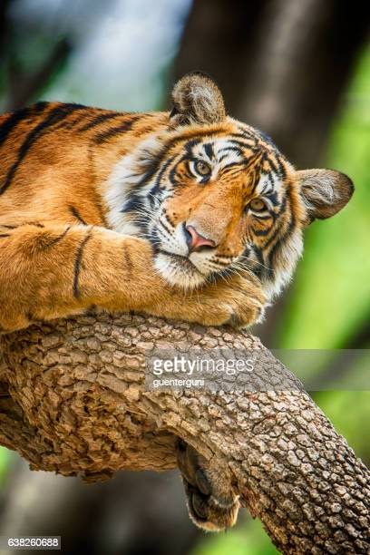 Bengal tiger (Panthera tigris tigris) on a tree, wildlife shot