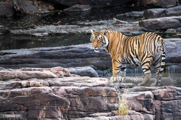 bengal tiger on rocky ledge - bengal tiger stock pictures, royalty-free photos & images