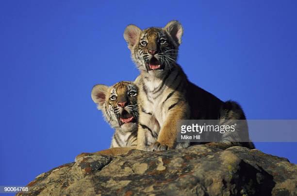 bengal tiger panthera tigris california usa