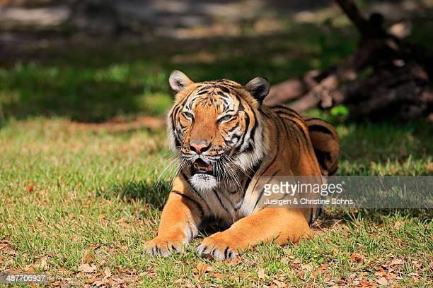 bengal tiger -panthera tigris tigris-, adult, captive, miami, florida, usa - tigre de bengala fotografías e imágenes de stock