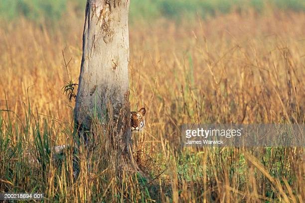 Bengal tiger (Panthera tigris tigris) peering around tree trunk