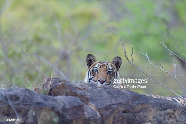 bengal tiger - bandhavgarh national park stock pictures, royalty-free photos & images