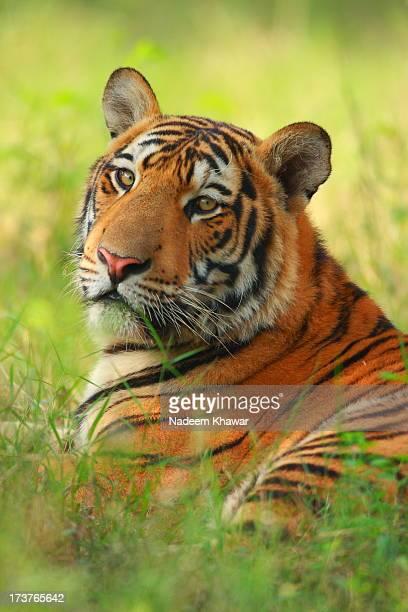 bengal tiger - tigre del bengala foto e immagini stock