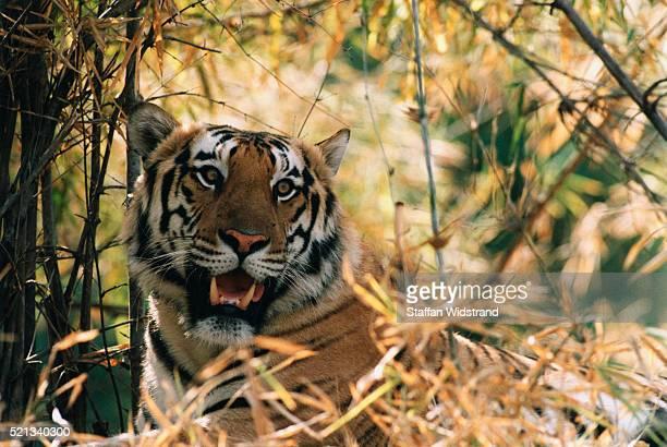 bengal tiger - bandhavgarh national park stock pictures, royalty-free photos & images