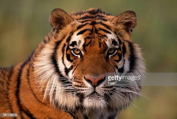 bengal tiger - tigre de bengala fotografías e imágenes de stock