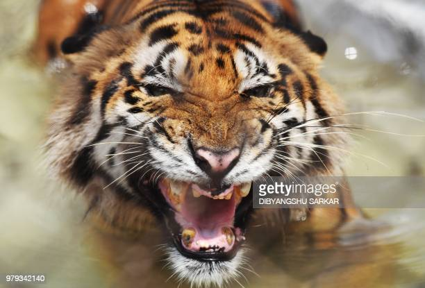 Bengal tiger reacts while cooling off in a pond inside a cage during a hot summer day at Alipore Zoological Garden in Kolkata on June 20 2018 The...