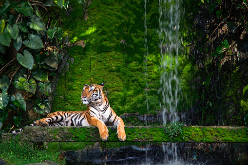 Bengal tiger resting Near the waterfall with green moss from inside the jungle zoo . 1152381066