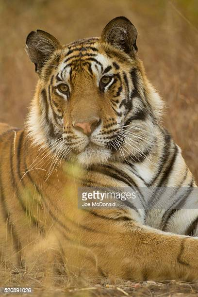 bengal tiger resting - bandhavgarh national park stock pictures, royalty-free photos & images
