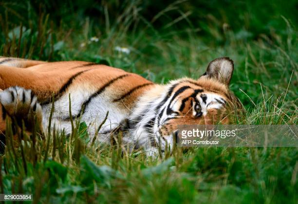 A Bengal tiger rests at the temporary shelter of the 'Stichting Leeuw' Lion Foundation which rescues retired circus animals on August 8 2017 in Anna...