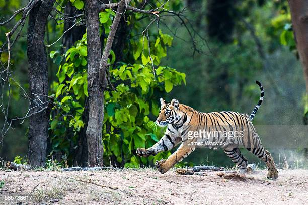 bengal tiger running at edge of sal forest - bandhavgarh national park stock pictures, royalty-free photos & images