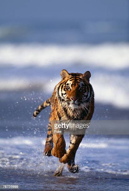 Bengal Tiger Running in Surf