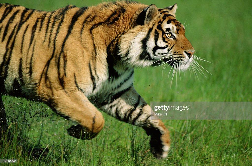 Bengal tiger (Panthera tigiris) running, profile : Photo