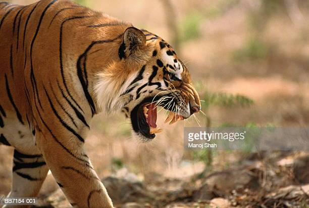 60 Top Tiger Face Pictures, Photos, & Images - Getty Images