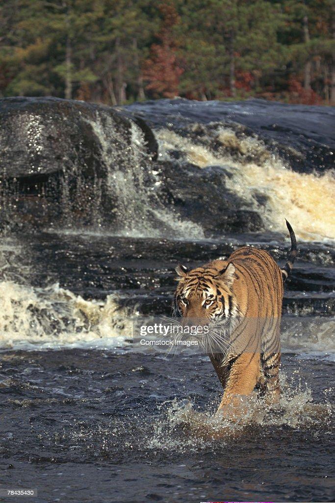 Bengal tiger stalking in rushing river , Nepal , India : Foto de stock