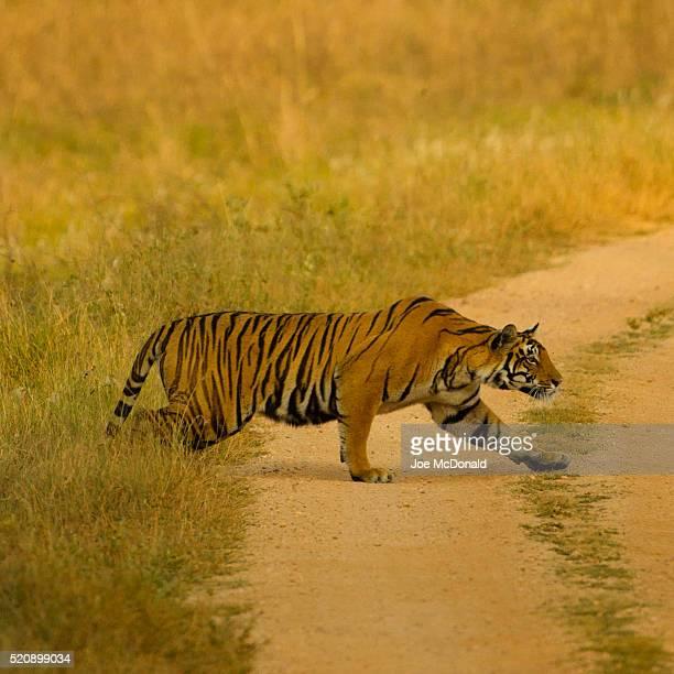 bengal tiger stalking prey - kaziranga national park stock pictures, royalty-free photos & images