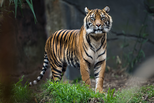 Bengal tiger standing in grass 841167440