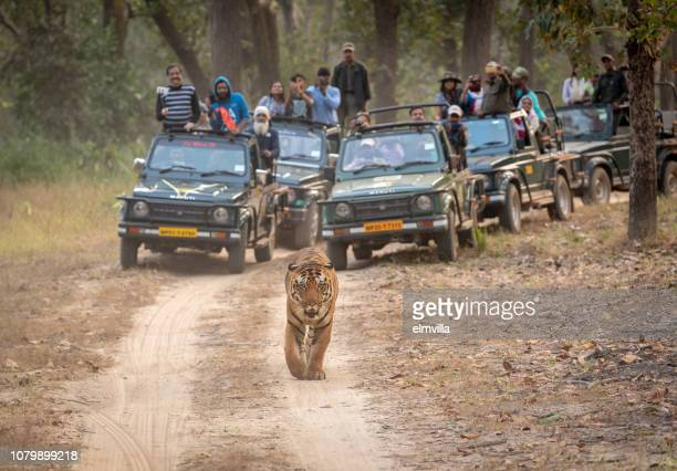 bengal tiger walking along a track in bandhavgarh national park, india - bandhavgarh national park stock pictures, royalty-free photos & images