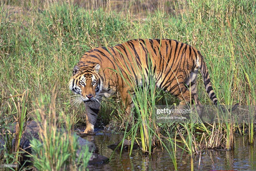 Bengal tiger walking through wetlands : Stockfoto