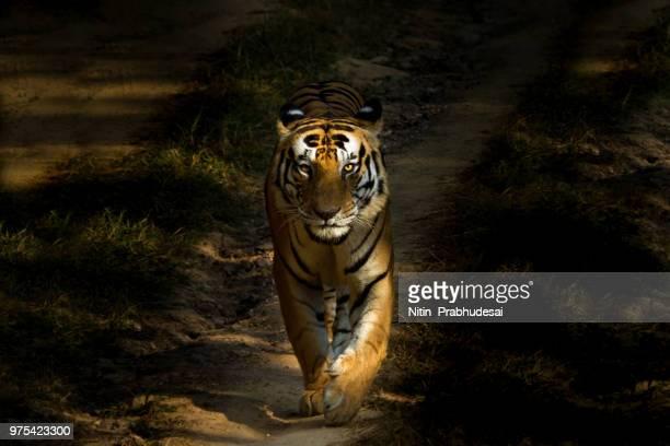 bengal tiger walking, tiger reserve, kanha national park, kanha, india - felino fotografías e imágenes de stock